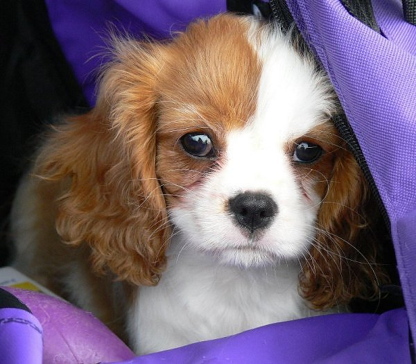 best puppy advice archives   the best puppy post