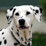 What the American Veterinary Medical Association Says About Dog Flu