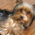 Best Puppy Yorkshire Terrier: World's Smallest Therapy Dog