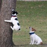 Uggie Dog Actor and Rescue Dog Has Mystery Shaking Syndrome