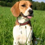 Beagle: America's No. 4 Choice for Best Puppy