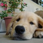 Golden Retriever. Best Puppy Tips: Top 10 Plants Poisonous to Pets