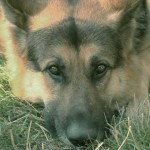 German Shepherd Dog: America's No. 2 Choice for Best Puppy