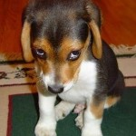 Dog Chewing Everything in Sight? Remedies and Reasons a Puppy Chews