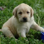 Labrador Retriever: America's No. 1 Choice for Best Puppy