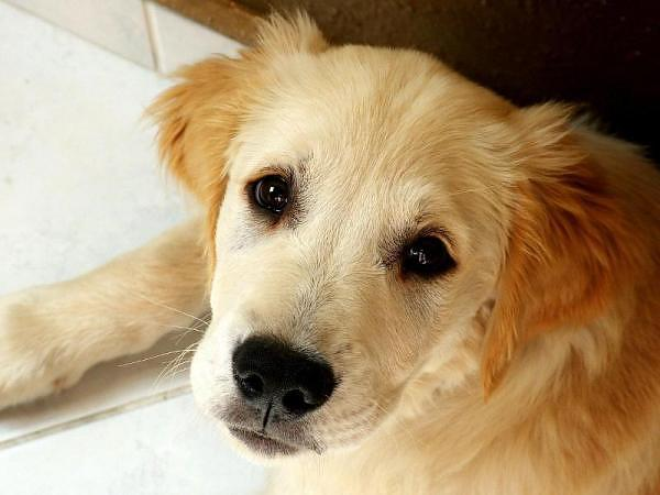 """The Best Cure for An Old Love, is a New Love."" Photo: Golden Retriever"